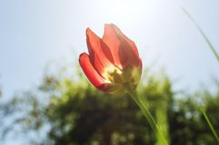 A flower of a red tulip in the light of a sunset in the spring afternoon. Close-up, soft focus. lens flare from sun royalty free stock photos