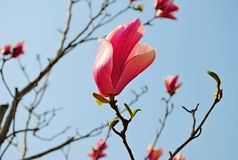 Pink magnolia tree closeup Royalty Free Stock Photos