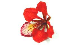 Flower. Red flower on white background Stock Photo
