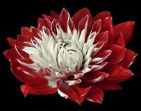 Flower red-white dahlia is blooming. Flower isolated on black background isolated no shadows. For design. Close-up. Stock Photos