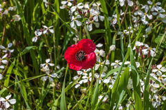 Flower of red wild poppy on green grass. stock images