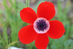 Flower, Red, Wildflower, Flowering Plant royalty free stock photo