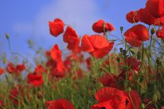 Flower, Red, Wildflower, Poppy Royalty Free Stock Images