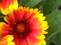 Flower. Red,yellow, nature colors Royalty Free Stock Photography