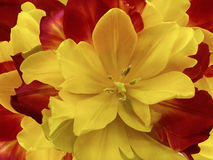 Flower red-yellow  tulip.  floral collage.  Flower background. Close-up. Stock Photos