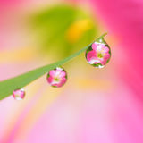 Flower reflected in droplets Royalty Free Stock Photo