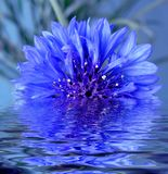 The flower reflected in water. The flower reflected in sea-water Stock Photo