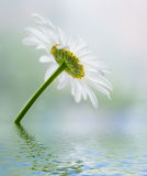 Flower reflected in water surface. Royalty Free Stock Photos