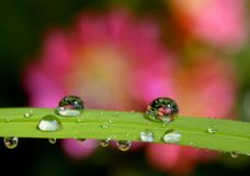 FLOWER REFLECTIONS IN WATER. Dew drops on a stem reflecting a Lewisia flower in the background Royalty Free Stock Photo