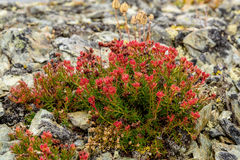 Flower Rhodiola rosea roseroot mountains Stock Images