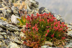 Flower Rhodiola rosea roseroot mountains Royalty Free Stock Images