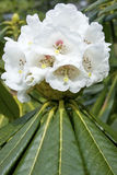 Flower rhododendron Stock Image