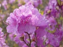 Flower of Rhododendron dauricum Stock Photo