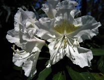 Flower Rhododendron. Royalty Free Stock Photos