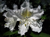Flower Rhododendron. Stock Photo