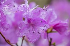 Flower Rhododendron during rain. stock photo