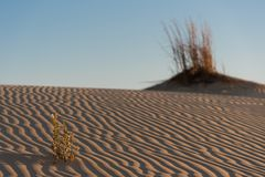 Flower with ripples in dunes at Monahans Sandhills. Flowers and ripples in the dunes lit by early morning sun light at Monahans Sandhills State Park in Texas Stock Photo