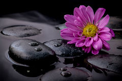 The flower on river stones spa treatment scene on black backgrou Stock Images