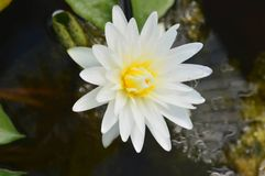 Flower in the river stock photography