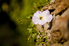 Flower on the rock Royalty Free Stock Photo