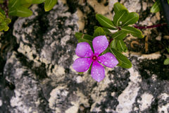 Flower On Rock. A pink flower growing on a rock Stock Images