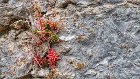 Flower in rock. A pink flower growing in a rock Royalty Free Stock Photography