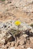 Flower on rock. Yellow flower ond the rock Stock Photo