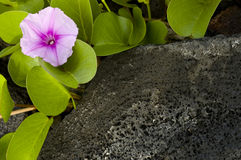 Flower on the rocks. Stock Photo