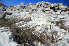 Flower and rocks. Adriatic flower grows from rocks Stock Photos