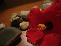 Flower with Rocks. Original photo of a hibiscus flower with rocks Royalty Free Stock Photos