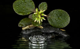 The flower on the rocks with drops of water Royalty Free Stock Photos