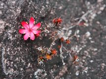 Flower on the rocks of Mount Roraima in Venezuela Stock Photo