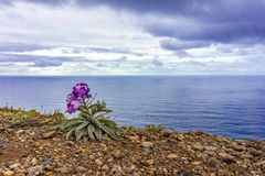 Flower on rocky coast in Madeira Atlantic coastline. Portugal stock photo