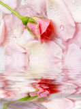 Flower of a rose. The flower of a rose lays on petals floating in water. Reflection in water royalty free stock photo