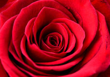 Free Flower Rose Royalty Free Stock Photography - 43326537