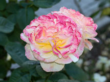 Flower of rose Royalty Free Stock Image