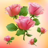 Flower, rose, blossom, bloom, floral, background, Stock Photography