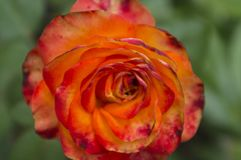 Flower of a rose of bright-red colour 1 Royalty Free Stock Photo
