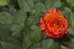 Flower of a rose of bright-red colour 2 Royalty Free Stock Photos