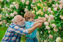 Flower rose care and watering. Grandfather with grandson gardening together. Bearded Senior gardener in an urban garden. Family generation and relations stock photos