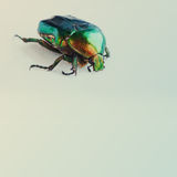 Flower rose chafer. Bronze, green color chitin. Multicolor pearl bug. Close-up. Retro colors background Stock Photos
