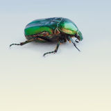 Flower rose chafer. Bronze, green color chitin. Multicolor pearl bug. Close-up. Retro colors background royalty free stock photos