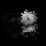 Rose chrysanthemum in black and white Stock Images