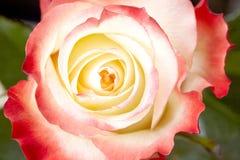 Flower rose. Close-up. Love Stock Photo