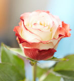 Flower rose. Close-up. Love Stock Images