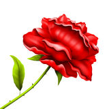 Flower rose for a congratulation Stock Images