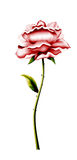 Flower rose for a congratulation Stock Photography