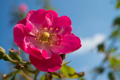Flower of the rose of dark pink. This is a flower of the rose of dark pink Stock Images