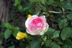 Flower rose with delicate pink petals. On a bush with buds and green leaves Royalty Free Stock Photography