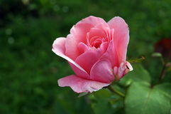 Flower rose with delicate pink petals. On a bush with buds and green leaves Stock Photography